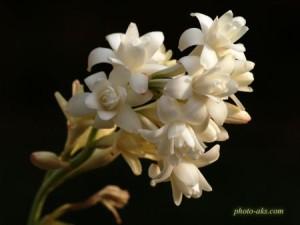 گل مریم تاج گل