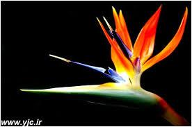 گل پرنده بهشتی تاج گل