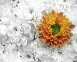گل داوودی تاج گل