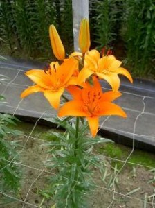 گل لیلیوم تاج گل