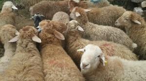 سفارش گوسفند زنده