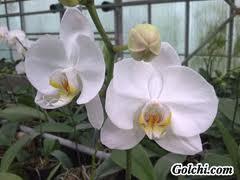 گل ارکیده فالانوپسیس در تاج گل