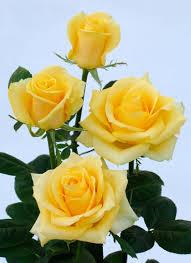 گل رز تاج گل