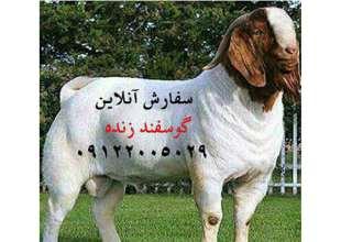 گوسفند زنده